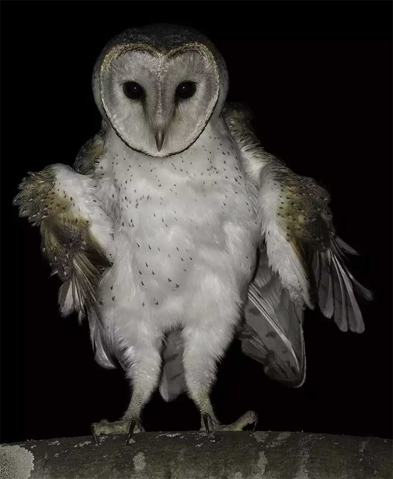 Eastern-Barn-Owl