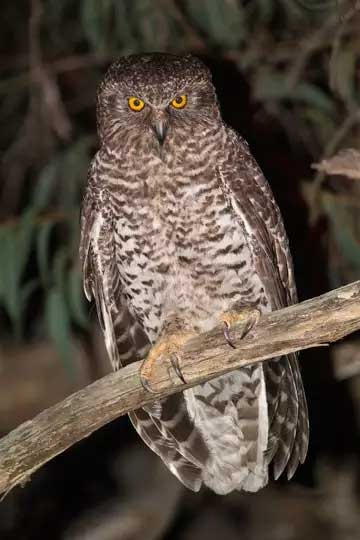 Powerful-Owl