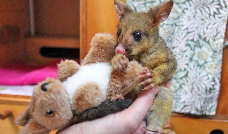 brushtail-joey-02-800