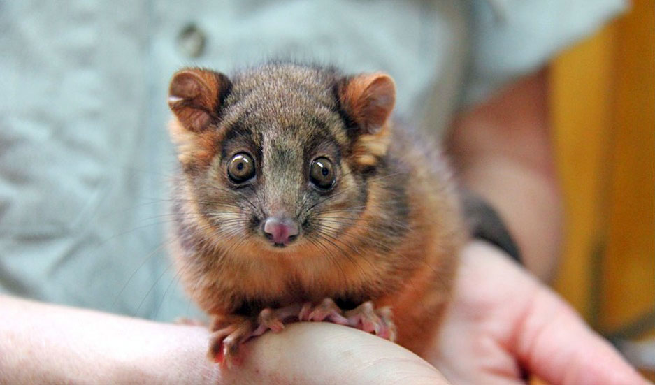 brushtail-joey-05-800