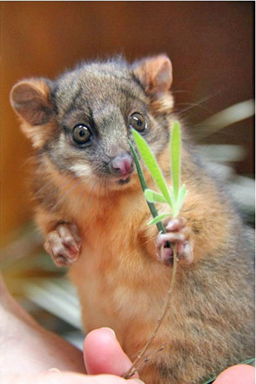 brushtail-joey-06-inet