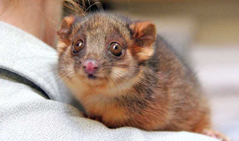 brushtail-joey-07-800