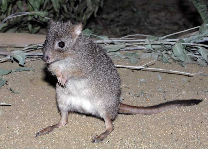 brush-tailed-bettong-01