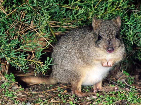 sp brush tailed bettong-600