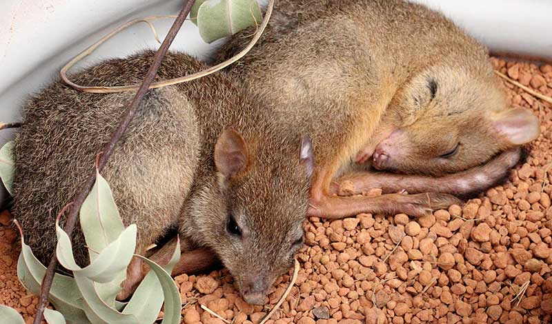 woylie-brush-tailed-bettong-800