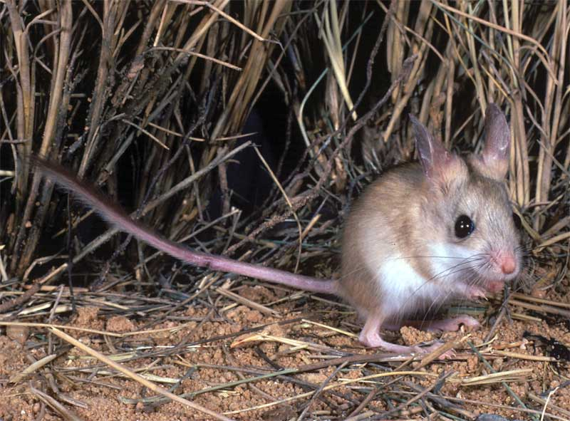 3-dusky-hopping-mouse