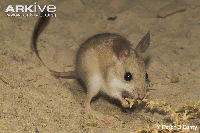 Dusky-hopping-mouse-eating