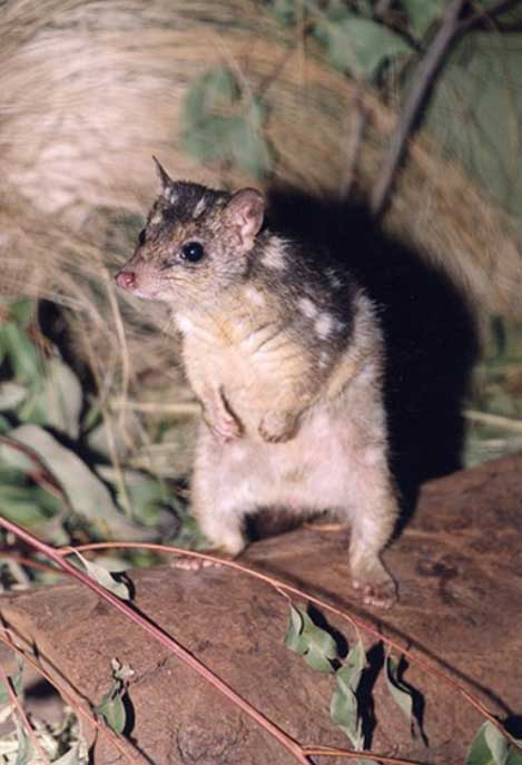 eastern-quoll