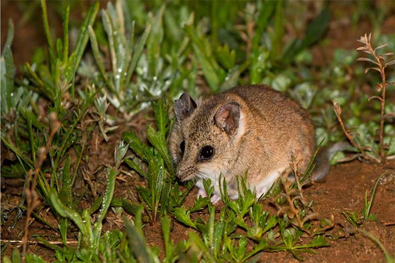 fat-tailed-dunnart