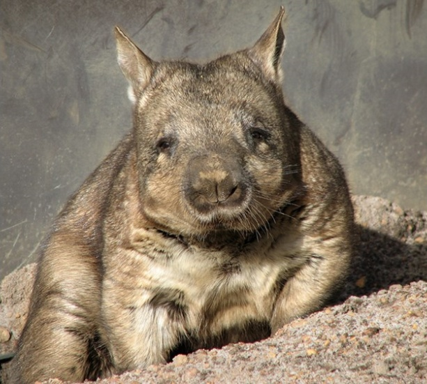 hairy-nosed-wombat.jpg