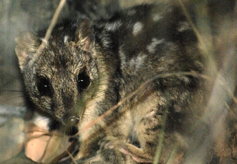 noothern-quoll.jpg