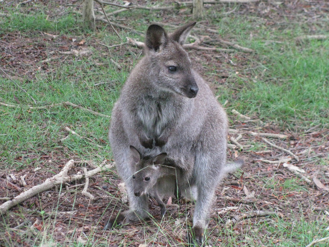 wallaby-with-baby.jpg