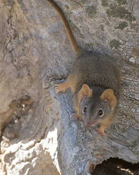 yellow-footed-antechinus