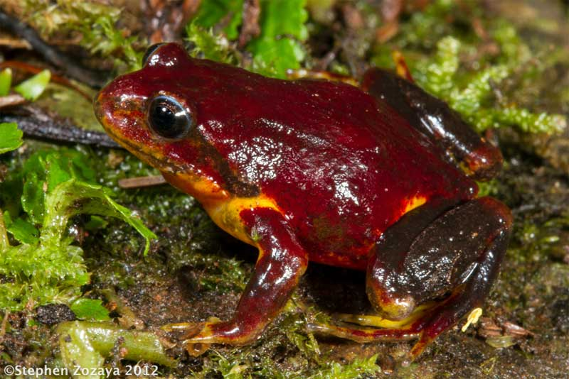 yellow-bellied-mountain-frog-01