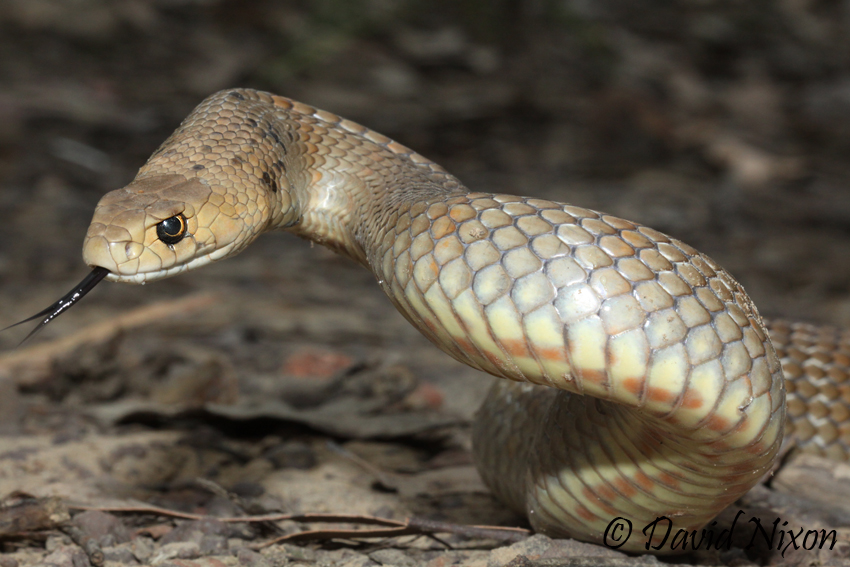 Eastern-Brown-Snake.jpeg