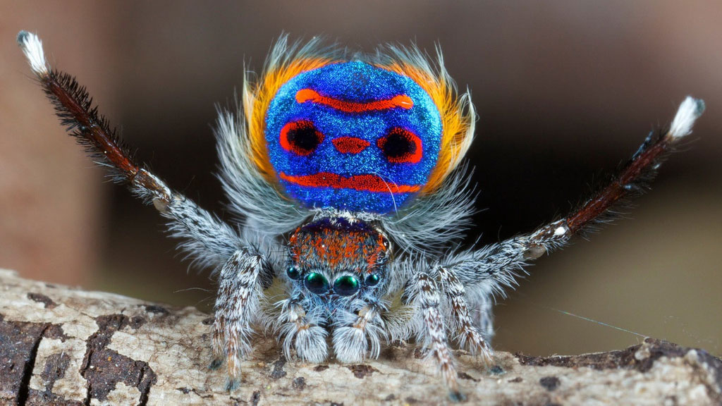 peacock-spider-01x1024.jpg
